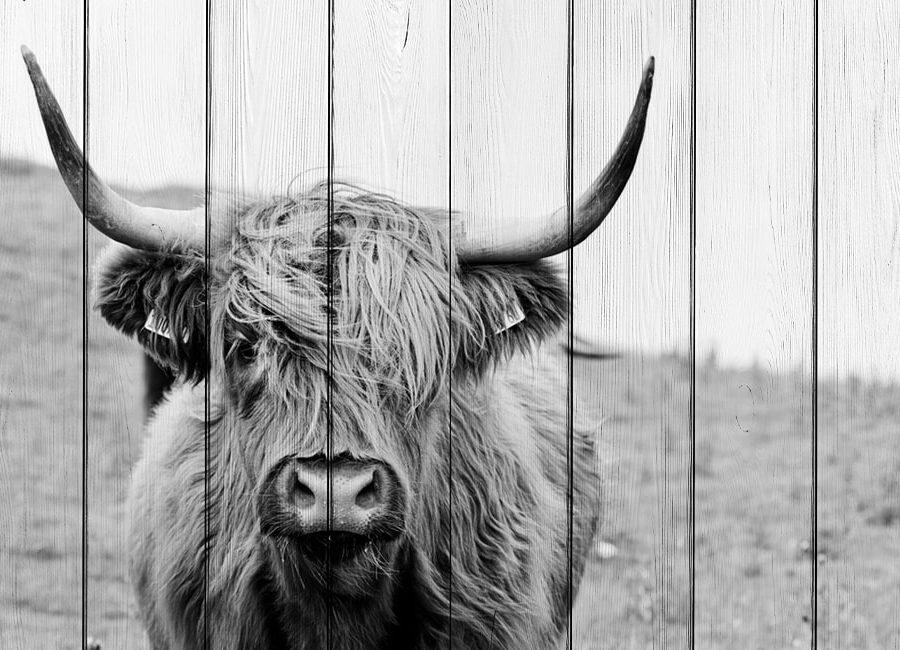 картина шотландская корова